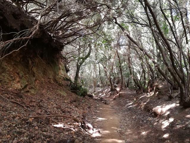 Bosque de Anaga Tenerife