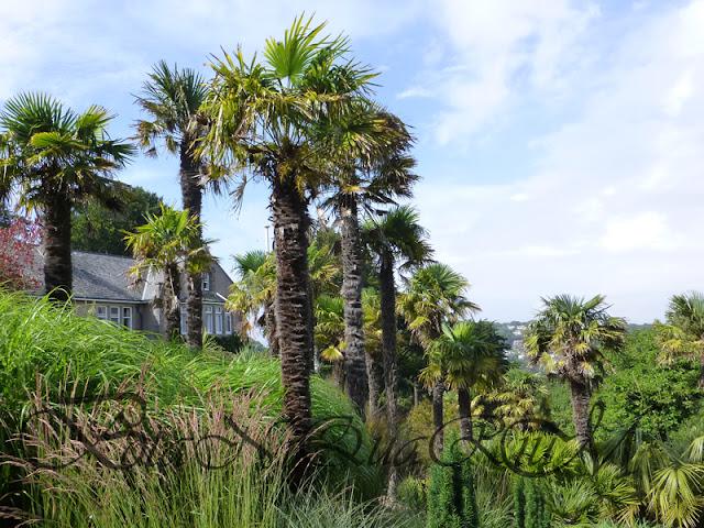 Botaniquarium - Trachycarpus fortunei group