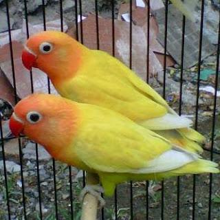 lovebird diare, lovebird mencret