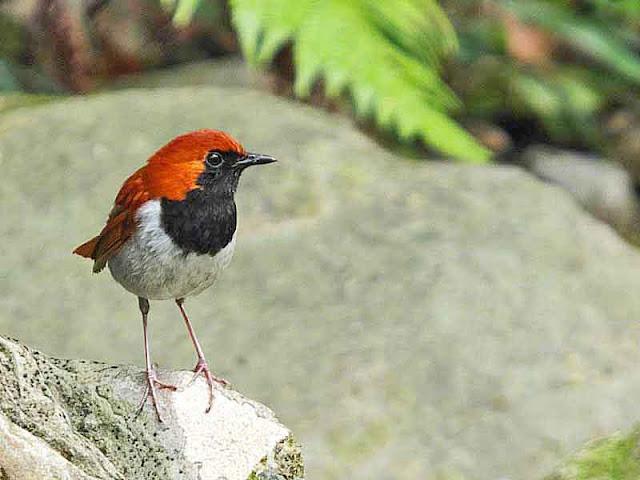 Ryukyu Robin, Larvivora komadori, bird, nature, wildlife, Okinawa