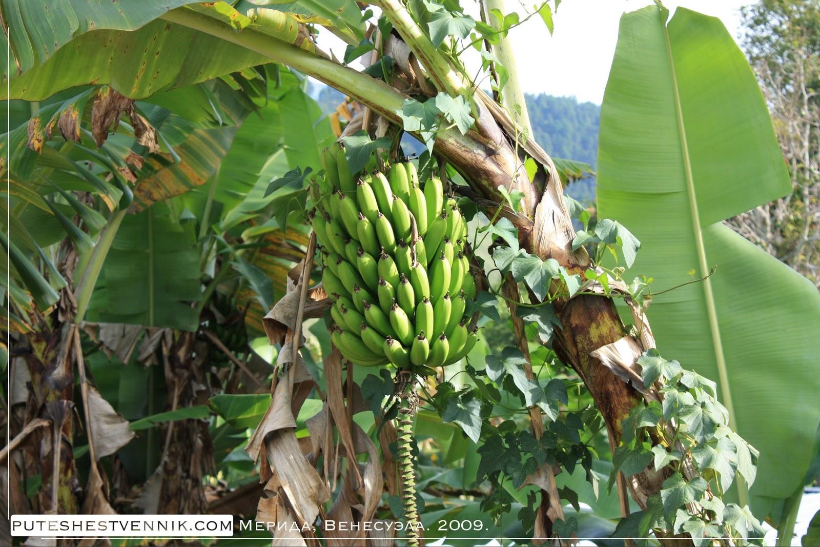 Бананы на пальме