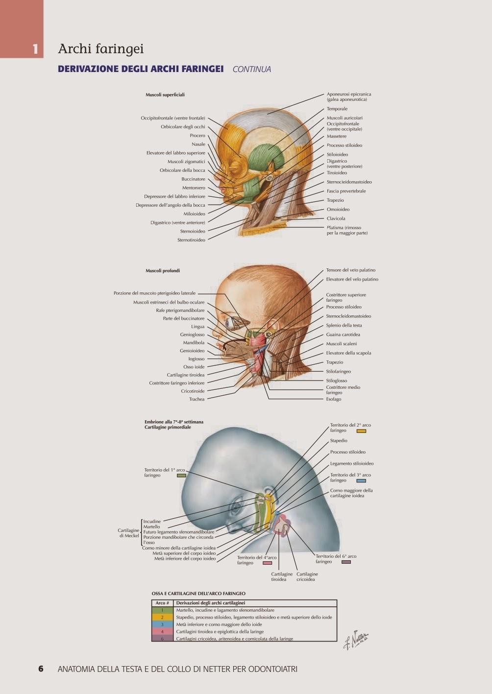 Libro Di Anatomia Della Testa e Del Collo Di Netter