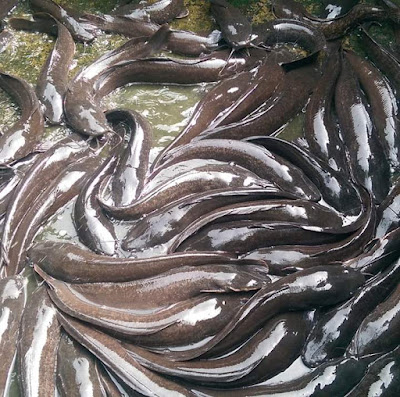 catfish in earthen pond
