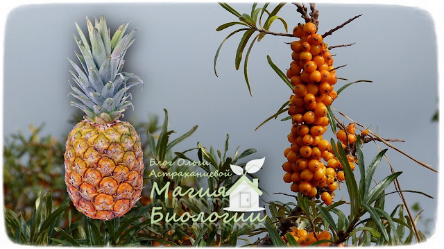 сибирский-ананас-облепиха