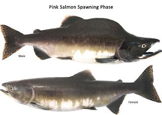 Pink (Humpy) Salmon - Jenis Jenis Ikan Salmon