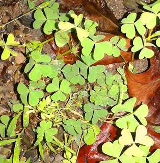Wild edible plants Wood Sorrel