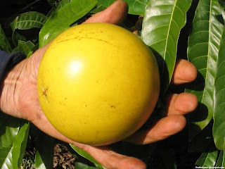 abiu fruit images wallpaper