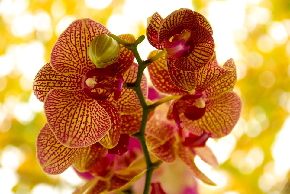 Cum îngrijești frunzele de orhidee cu lamaie