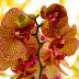 Cum îngrijești frunzele de orhidee