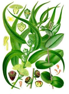 Eukaliptus gałkowy opis działanie zioło