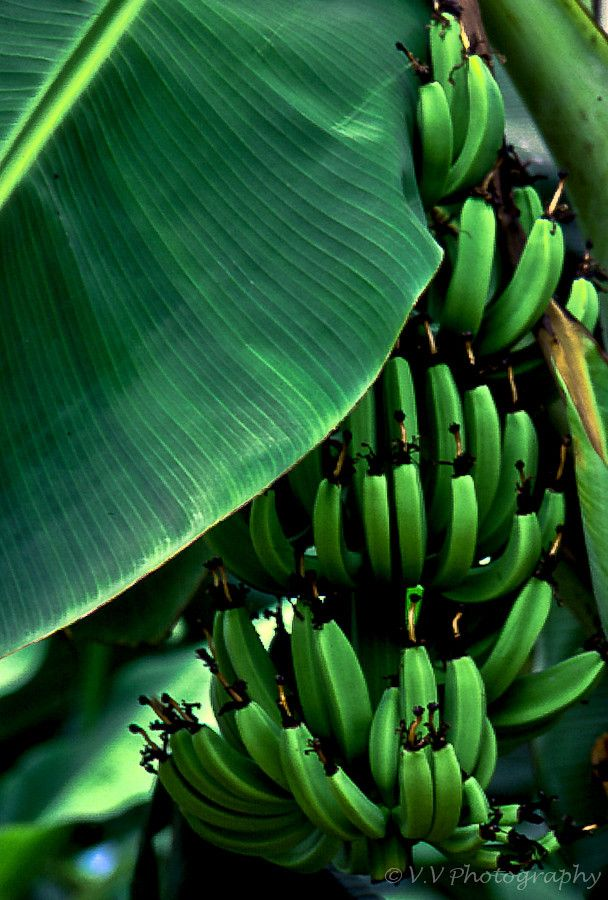 Growing Banana Trees in Pots at Home, How to Grow Banana ...