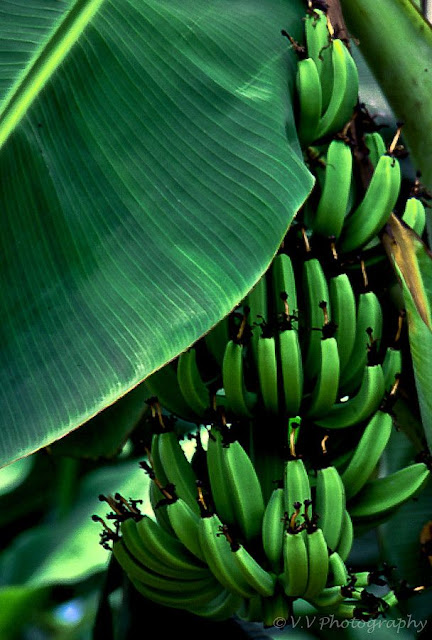 Growing Banana Trees In Pots At Home How To Grow Banana Trees Everything About Garden
