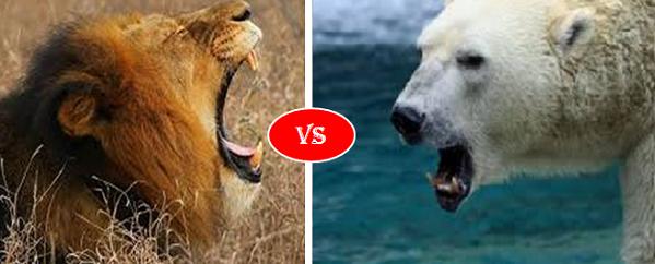 Polar Bear vs African lion