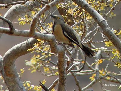 Babbling Starling