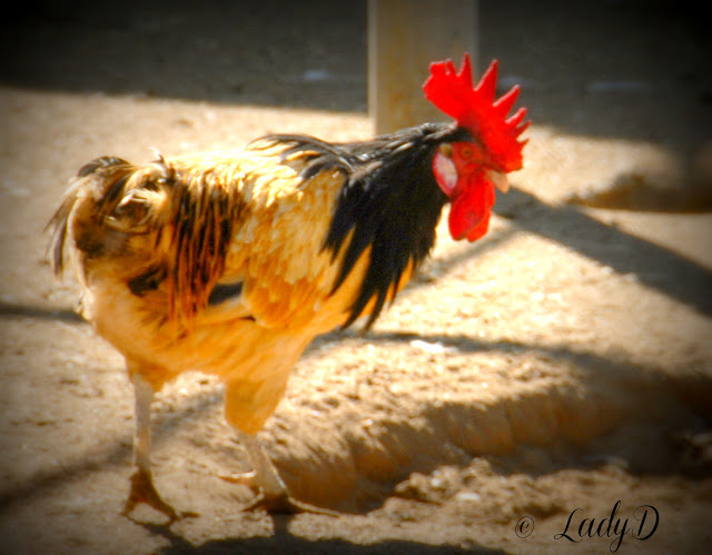 Rooster at Bates Nut Farm