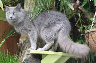 gambar kucing Nabelung