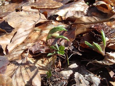 grzyby wiosenne, grzyby 2017, grzyby w marcu, poszukiwania wiosny