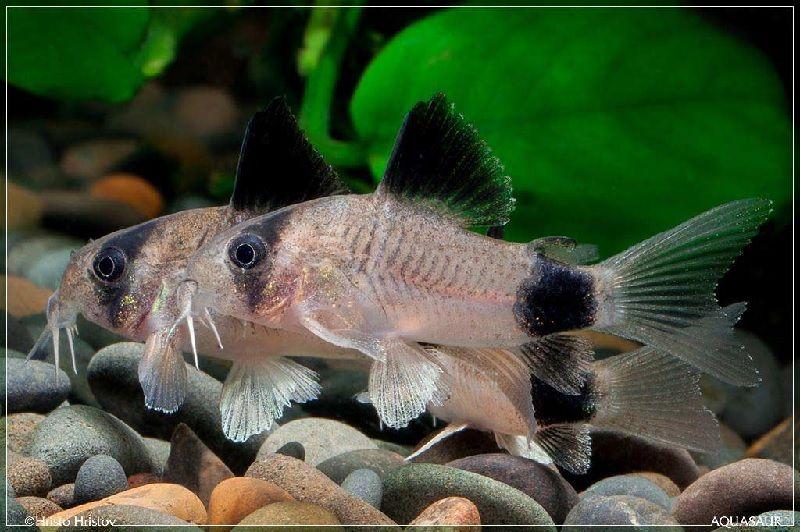 Ikan Yang Peka Terhadap Garam Ikan Atau Garam Akuarium-Corydoras
