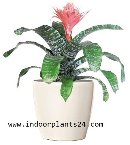 Bromeliaceae  plant image