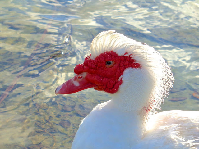 Muscovy duck aty sundown