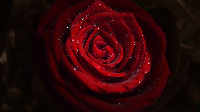 Wallpaper: Water Drops on Red Rose