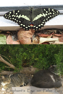 Citrus swallowtail and cats