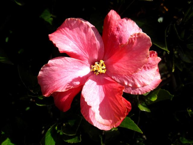 Hibiscus kiinanruusu