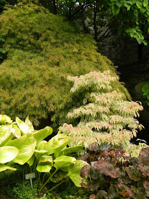 Acer palmatum 'Waterfall' Japanese maple at the Toronto Botanical Garden by garden muses-not another Toronto gardening blog