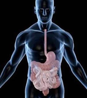 Les sucs digestifs et leurs enzymes