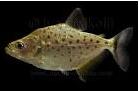Cara Merawat Ikan Piranha Irritans Di Akuarium