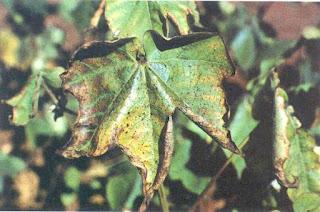 Murcha de verticillium
