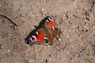 Ein bunter Schmetterling sitzt auf dem Boden