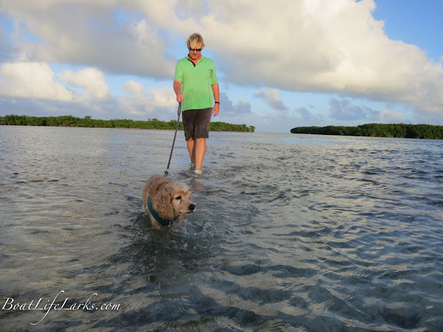 Boat dog walking on Elliot Key sandbar at dusk