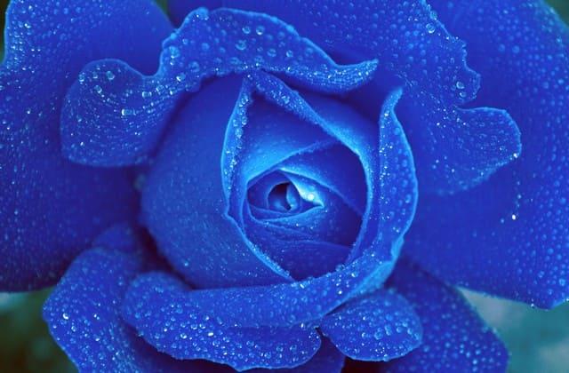 mawar biru yang mempesona