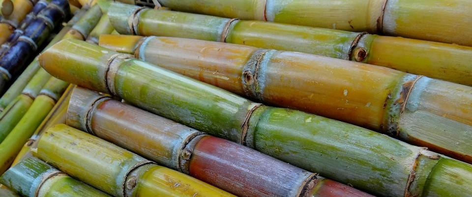La canne à sucre possède des facultés diurétiques et