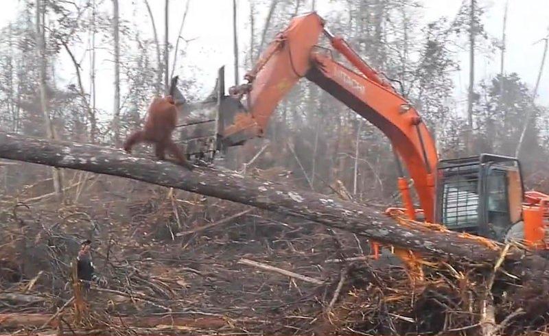 Orangotango a tentar defender floresta de buldózer