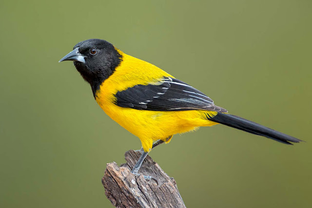 a yellow and black bird perched on a wooden fence post