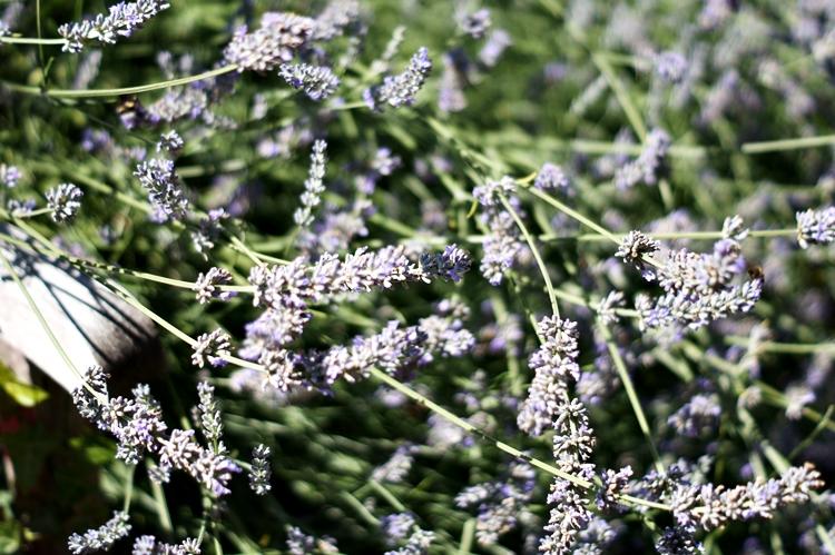 Blog & Fotografie by it's me! - blauer Lavendel