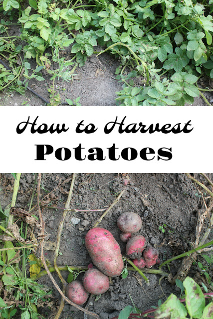 Let the little ones help in the garden this fall. We show you how to dig potatoes with kids and clean up after.