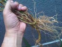 akar tanaman anting-anting