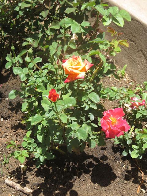 Einen Rosengruß aus den Bergen im Süden Boliviens