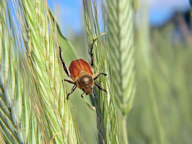 owad, zboże, szkodnik, pole