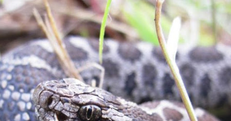 Climatic and geographic predictors of life history variation in Eastern Massasauga, Sistrurus catenatus