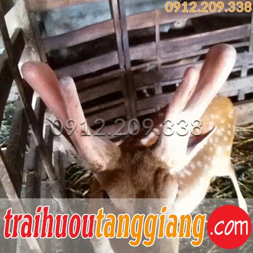 Nhung hươu Tăng Giang