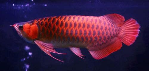 Ikan Arwana - Cara Budidaya Ikan