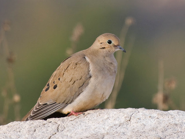 Mourning Dove in good light