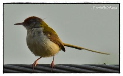 Common Tailor Bird, Tailor Bird, Bird with Sweet Voice, Songbird