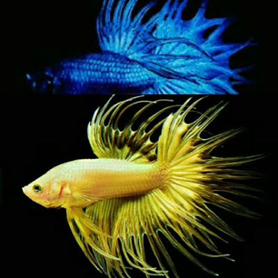 jenis betta crown tail cupang serit