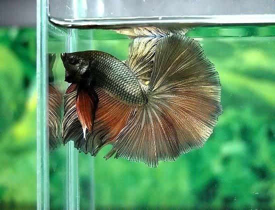 All about betta fish: copper betta halfmoon male  All about betta...