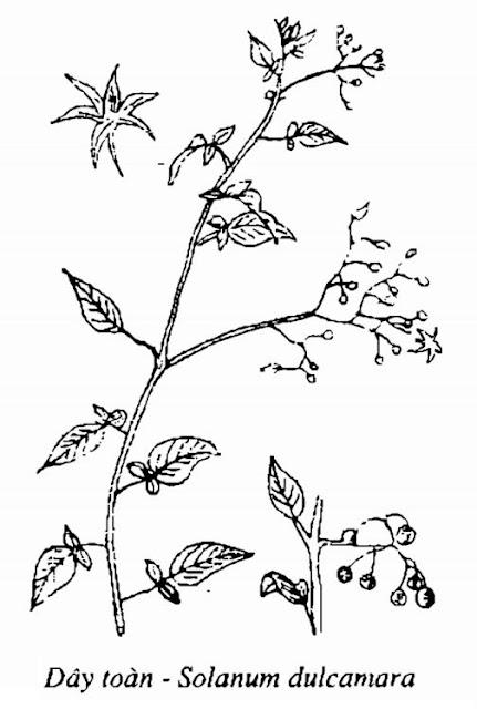 Hình vẽ Dây Toàn - Solanum dulcamara - Nguyên liệu làm thuốc Chữa Tê Thấp và Đau Nhức